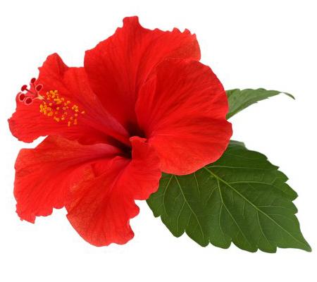 Fleur d'hibiscus comestible